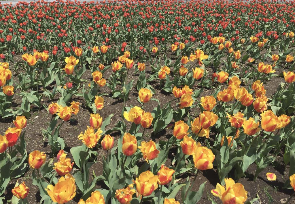 tulip-fes6